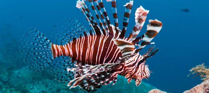 lionfish roatan